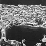 Detailaufnahme der beiden oberen Zellschichten. Das freiliegende Zellinnere der obersten Schicht wurde mit dem Porenfüller aufgefüllt. Die Schicht darunter bleibt unberührt. Deutlich zu erkennen sind die in Bindemittel 'eingepackten' Mineralpartikel und der Tüpfel. Breite des Bildauschnitts ca. 55 µm